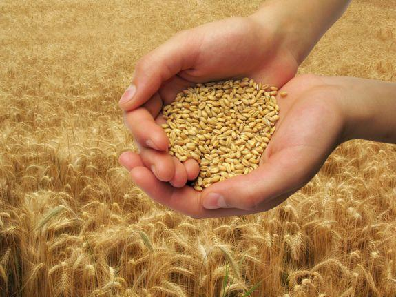 есенни култури, пшеница, Agrozona.bg