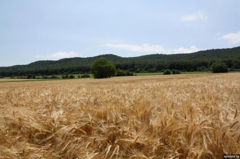 ечемик, пшеница, Agrozona.bg
