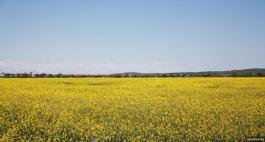 рапица поле биогорива