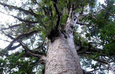 вековно, дърво, Agrozona.bg
