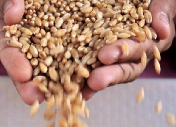pshenica zarna agrozona-bg