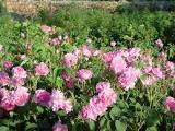 маслодайна роза, отглеждане, Agrozona.bg