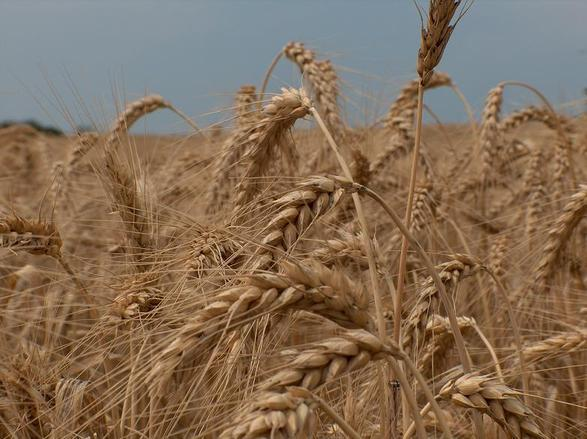 добив, пшеница, Agrozona.bg