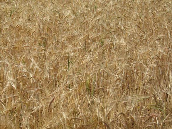 износ, пшеница, Agrozona.bg