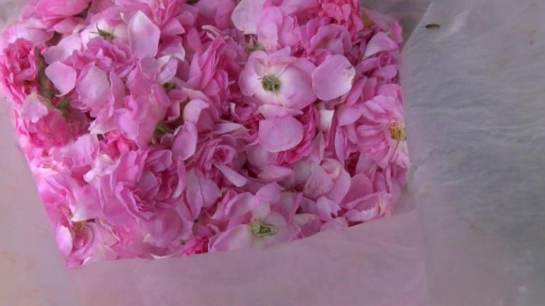 роза, Христо Николов, Agrozona.bg