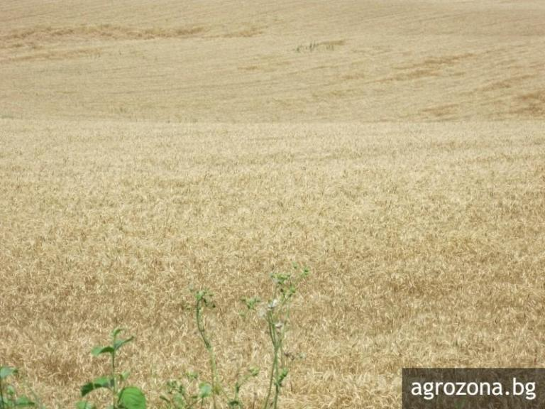 ечемик, прогноза, Agrozona.bg