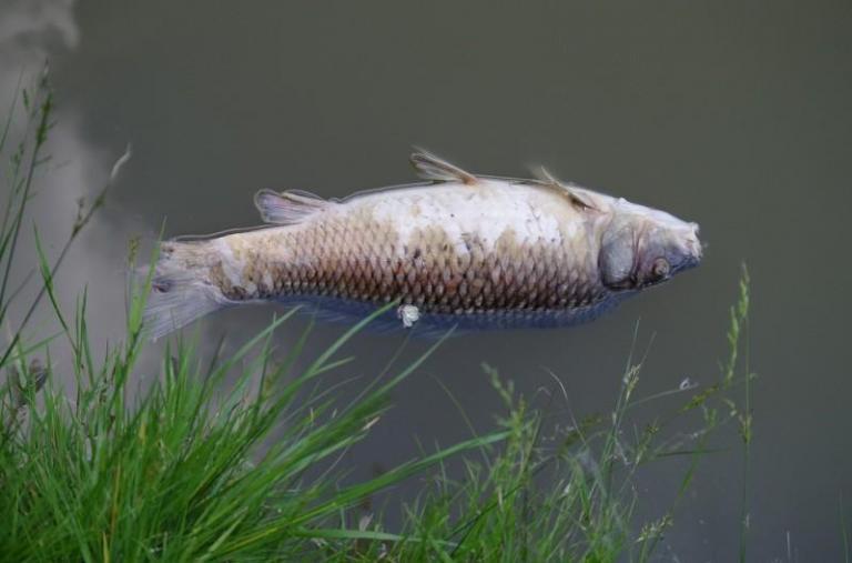 Върбица, мъртва риба, Agrozona.bg
