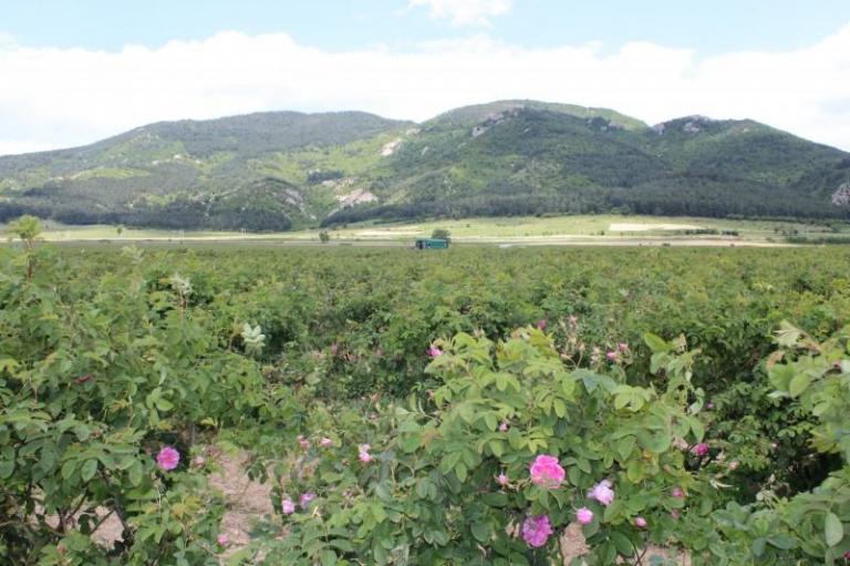 МЗХГ, роза, Agrozona.bg