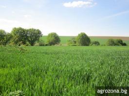 пшеница поле нива