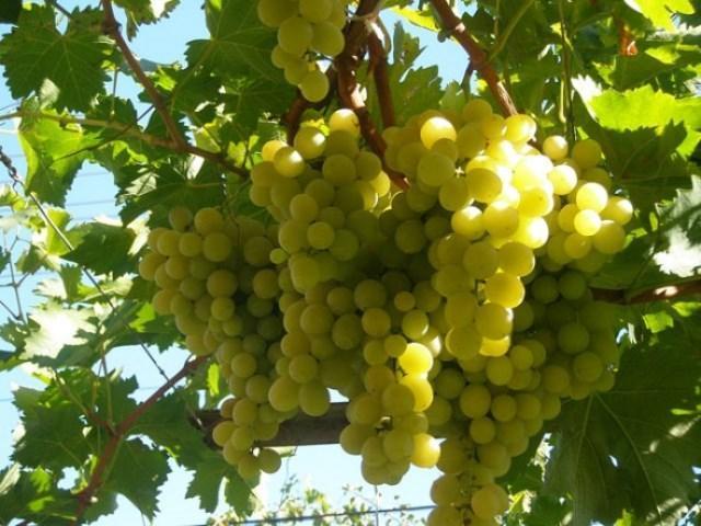 грозде, гроздобер, Agrozona.bg