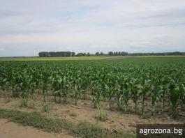 поле царевица