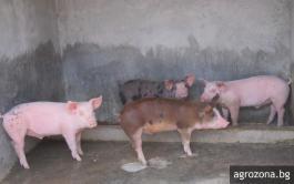 прасета свине