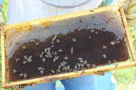 мед пчели пчелар