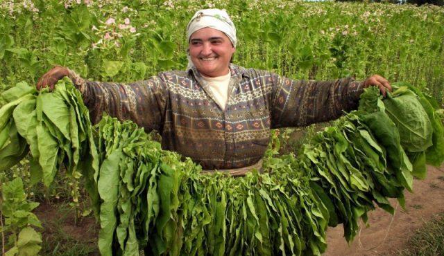 тютюн, Agrozona.bg