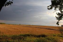 поле жътва пшеница
