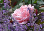 роза и лавандула