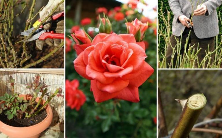 укриване на розите, Agrozona.bg