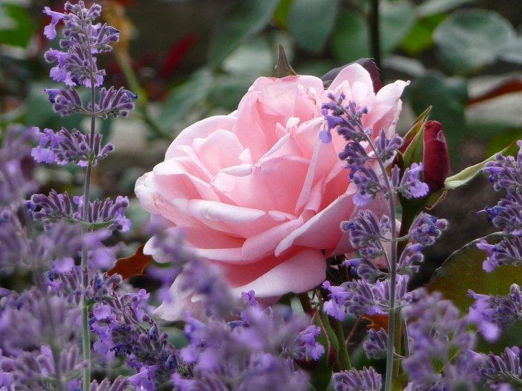 законопроект, маслодайна роза, Agrozona.bg