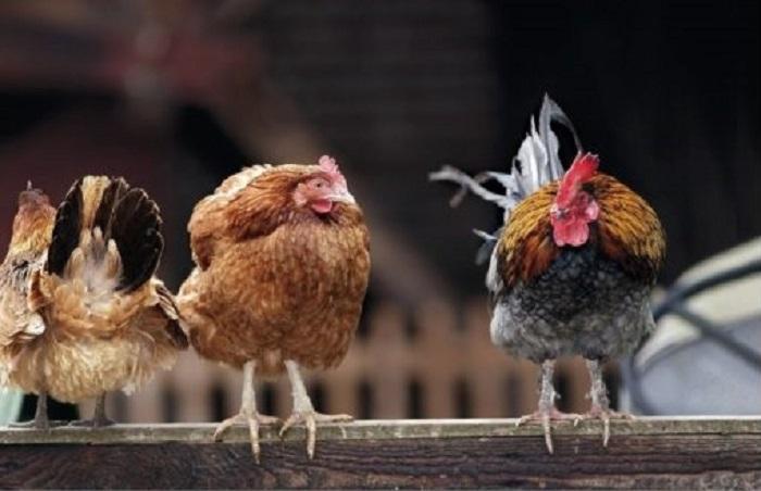 кокошки, Agrozona.bg