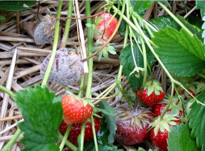 череши, ягоди, Agrozona.bg