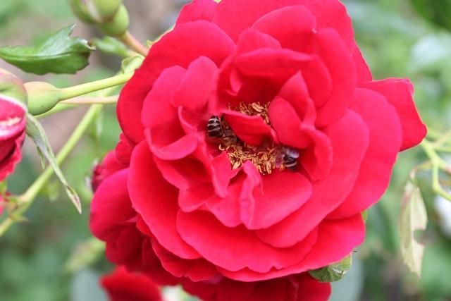 roza_rose_bee_pcheli