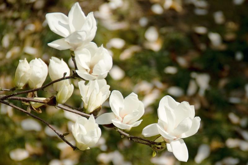 "Уникални магнолии стават акцент на ""Цветна пролет"""