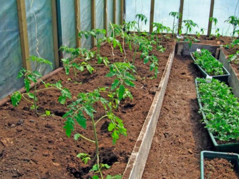 домати, засаждане, Agrozona.bg