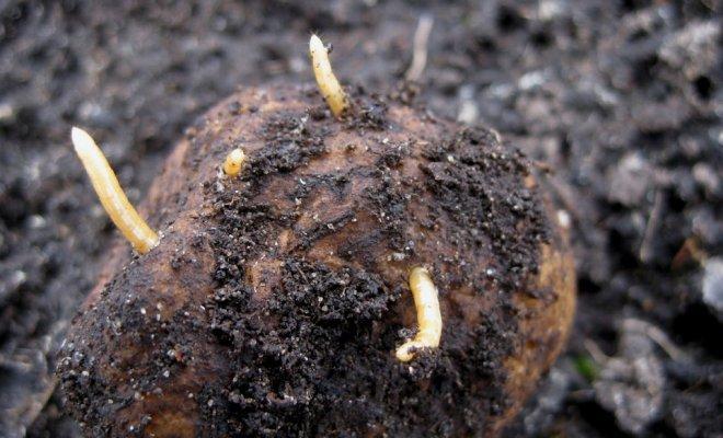телени червеи по картофите, ДФЗ, картофи, Agrozona.bg