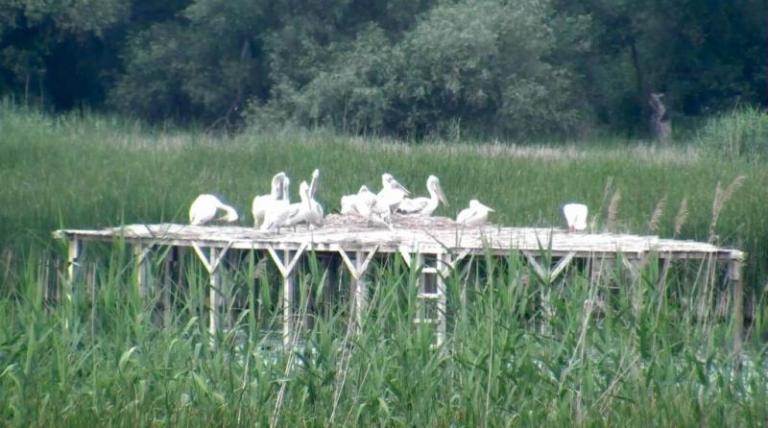 пеликани, Сребърна, Agrozona.bg