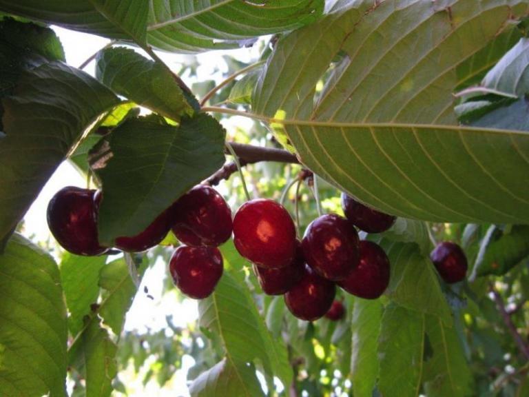 добиви, плодове, Agrozona.bg