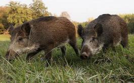 глиган диви прасета свине