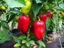 Домати и боб с по-слаба реколта, пиперът с лек ръст