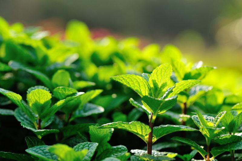 мента билки растение