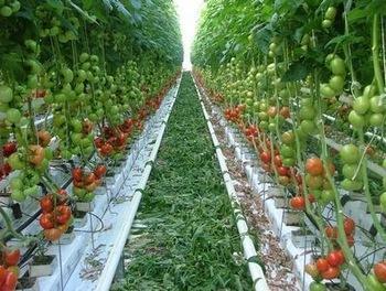 Белгия, домати, Agrozona.bg