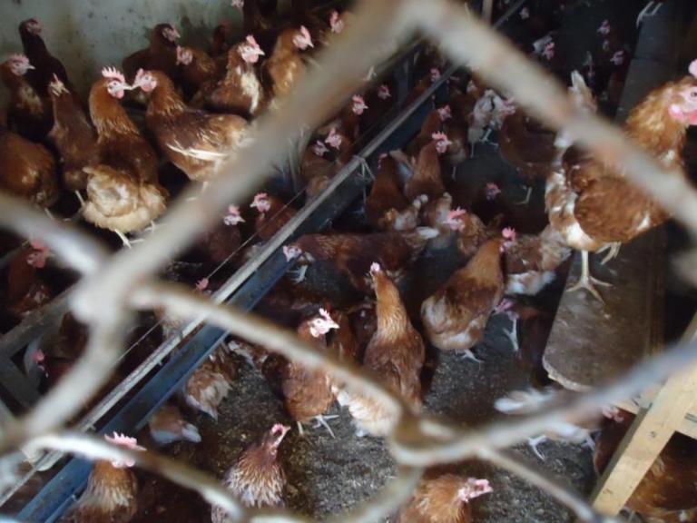АЧС, инфлуенца по птиците, Agrozona.bg