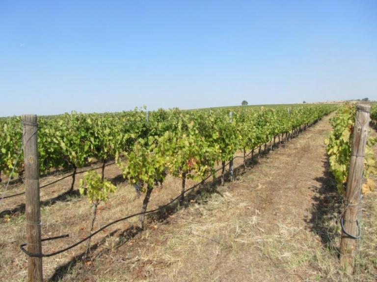 брашнеста мана, грозде, Agrozona.bg