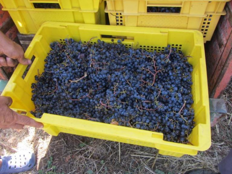 гроздова реколта, Agrozona.bg