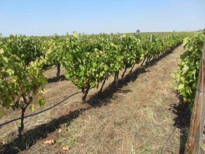 Лозарите и винарите вече с нови правила за финансиране по националната програма