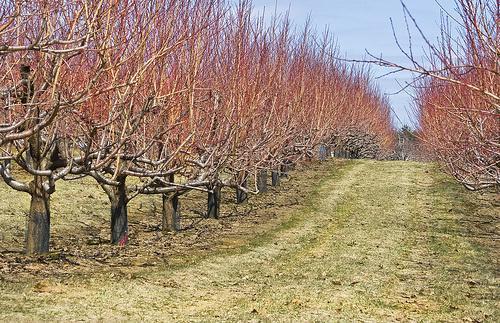 зимни пръскания, костилкови овощни видове, Agrozona.bg