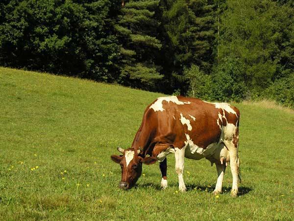 de minimis, крави, Agrozona.bg