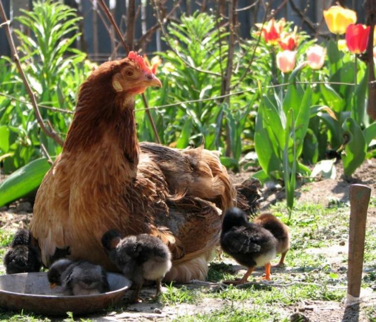 заложени яйца, кокошки, Agrozona.bg