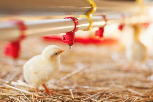дейност, люпилни, Agrozona.bg, пиле