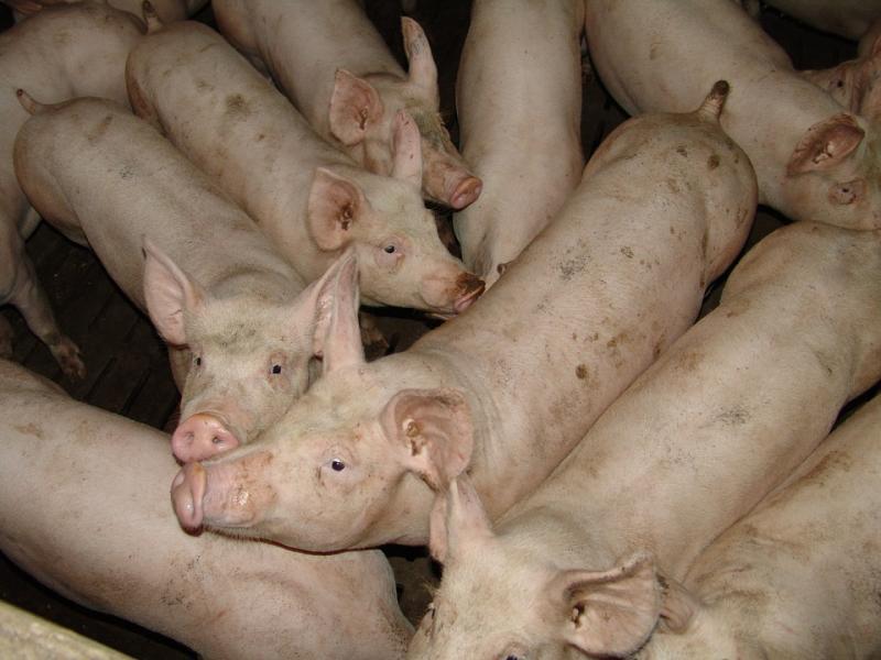 Европейска комисия, класическа чума по свинете, Agrozona.bg