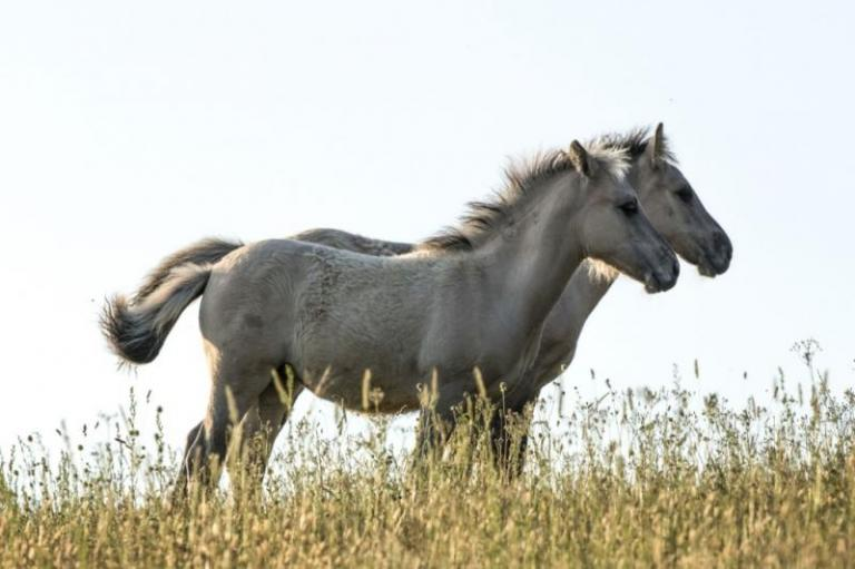 диви коне, коник, Agrozona.bg