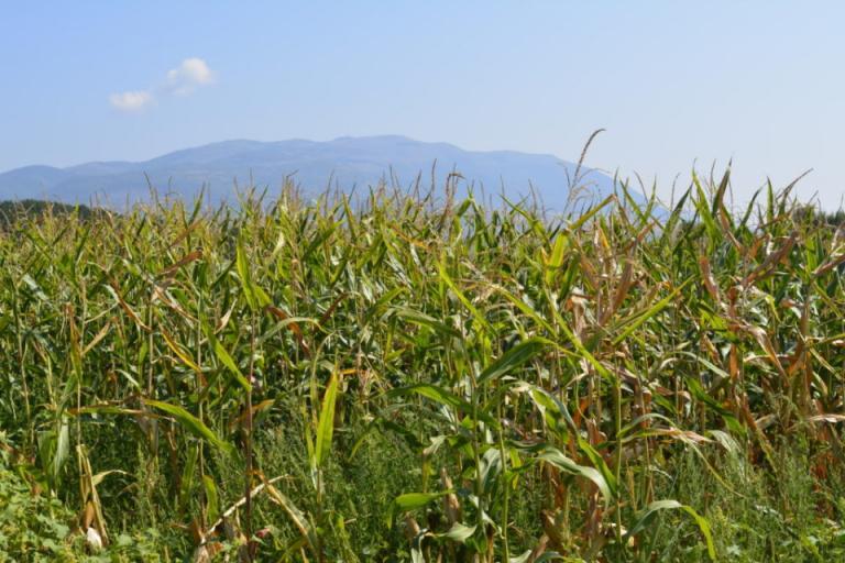 прогноза, пшеница, Agrozona.bg