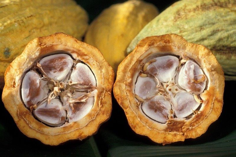 cacao-fruit1