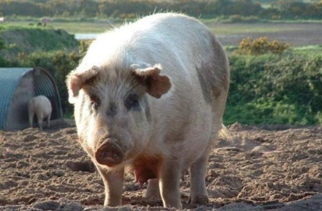 африканска чума по свинете, прасета, Agrozona.bg