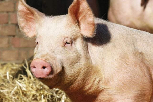 Монтана, свине, Agrozona.bg