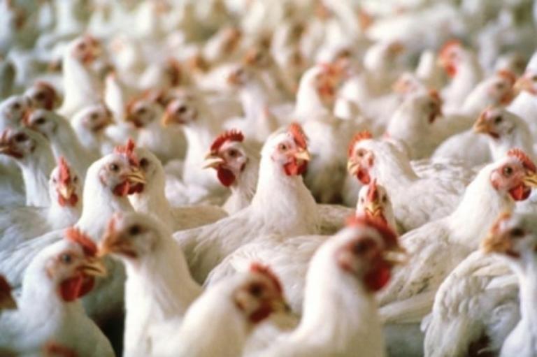 инфлуенца по птиците, птицевъдни обекти, Agrozona.bg