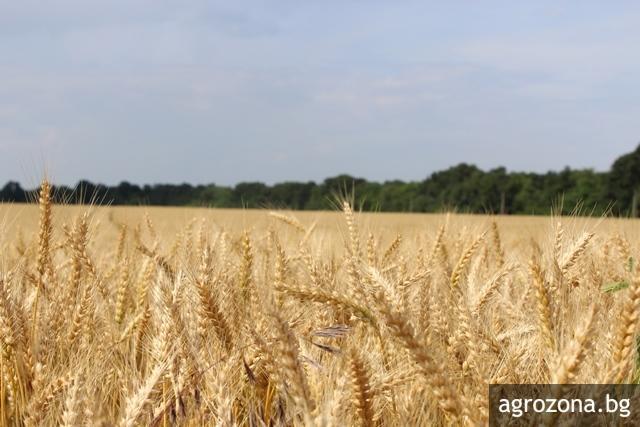 pshenica pole wheat -agrozona-bg